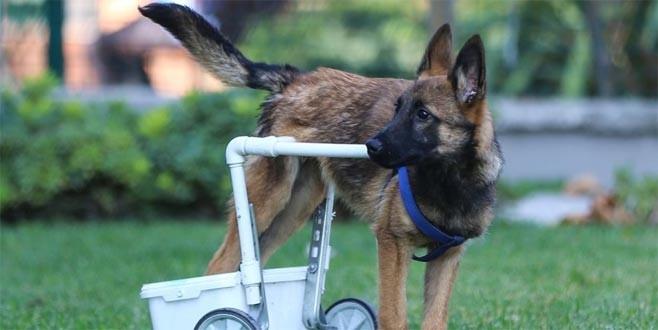 Felçli köpek hayata böyle tutundu