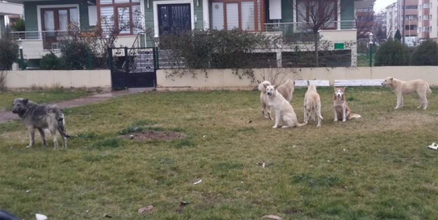 Kartal'ı başı boş köpekler istila etti